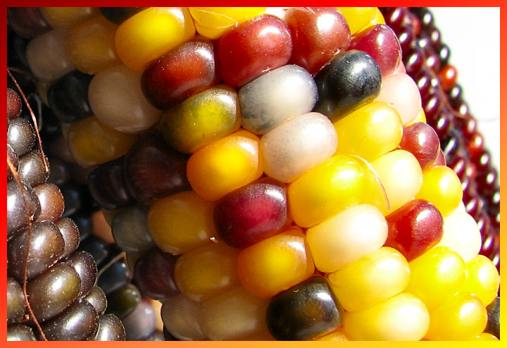 Image of the day corn for Www gardner com